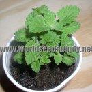 1000+- CATNIP PLANT SEEDS --- Nepeta Cateria