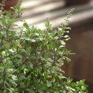 1 oz. HOLY BASIL Ocimum Sanctum (tenuiflorum) TULSI seeds- BULK