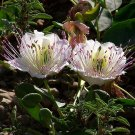 125 CAPER TREE - Capparis Spinosa SEEDS - culinary delicacy - edible buds