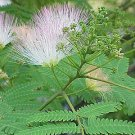 1/8 oz Albizzia Julibrissin SILK TREE MIMOSA seeds