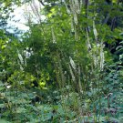 100 BLACK COHOSH Cimicifuga (actaea) Racemosa Seeds - Female Herb & Insect repellent