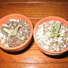10 Living Rock ARIOCARPUS RETUSUS v 'Furfuraceus' seeds