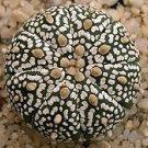 ASTROPHYTUM ASTERIAS cv. SUPER KABUTO cactus seeds