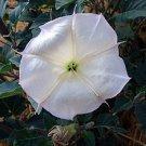 1 oz. Datura Wrightii seeds SACRED DATURA Western Jimsonweed BULK