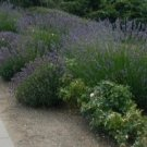 1 oz. BULK Lavandula Angustifolia ENGLISH LAVENDER herb seeds