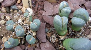 100 LITHOPS MEYERI seeds LIVING STONES mesemb succulent
