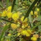 15 ACACIA CONFUSA SEEDS Formosa Koa mimosa family
