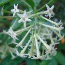 10 CESTRUM NOCTURNUM seeds *NIGHT BLOOMING JASMINE*