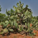 50 PRICKLY PEAR CACTUS SEEDS - Opuntia Ficus-Indica