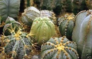 20 ASTROPHYTUM HYBRID MIX Bishop's Cap cactus seeds