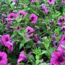 500+ wild PETUNIA VIOLACEA (integrifolia) seeds -SHANIN