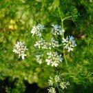 1 oz.Organic CILANTRO HERB SEEDS - coriander
