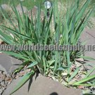 1500 REED CANARY GRASS Phalaris Arundinacea Seeds