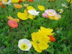 20,000 ICELAND POPPY Seeds- Papaver Nudicaule BULK
