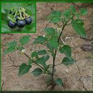 1000 seeds Solanum Nigrum (Black Nightshade)