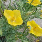 750 GLAUCIUM FLAVUM SEEDS - Yellow Horned Poppy SEA POPPY medicinal herb flower