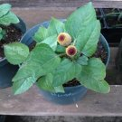 1 LIVE TOOTHACHE PLANT from seeds Spilanthes Acmella/ Oleracea aka Eyeball Plant