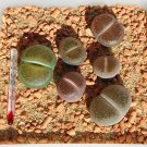 50 LITHOPS AUCAMPIAE - seeds LIVING STONES ~ mesemb