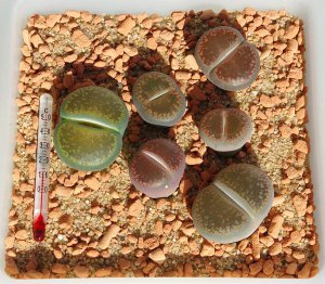 50 LITHOPS AUCAMPIAE - seeds LIVING STONES ~ mesemb
