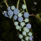60 Vitis Riparia RIVER BANK GRAPE Seeds Hardy Perennial fruit vine semillas