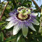1 BLUE PASSION FLOWER Passiflora Caerulea LIVE PLANT flowering fruit vine