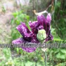 1000 *BLACK* PEONY POPPY seeds papaver paeonyflorum