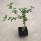 1 SIDA CORDIFOLIA LIVE PLANT Bala aka High Mallow Ayurveda Energy Herb & Flower