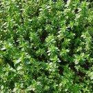 300+ DWARF STINGING NETTLE seeds URTICA URENS herb