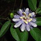 1 PURPLE PASSION FLOWER Passiflora Incarnata LIVE PLANT flowering fruit vine