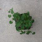 Gotu Kola Live Plant - Centella Asiatica medicinal memory herb