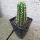 (1) LIVE Trichocereus Spachianus Cutting GOLD TORCH Cutting