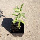 (1) Zornia Latifolia Live Plant- Maconha Brava - Rare medicinal herb