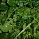 3,500 WATERCRESS Seeds Nasturtium Officinale Superfood, salad green, cancer herb