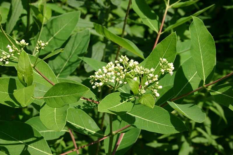 Apocynum cannabinum Indian hemp