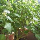 100 JAVA PATCHOULI PLANT Seeds Pogostemon Heyneanus Aromatic Herb - RARE!