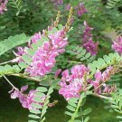 10g TRUE INDIGO SEEDS Indigofera Tinctoria - Dye plant / soil enhancer BULK DEAL