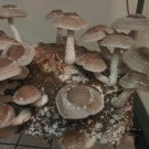SHIITAKE MUSHROOM Lentinula Edodes – Live Culture - Grow your own mushrooms!