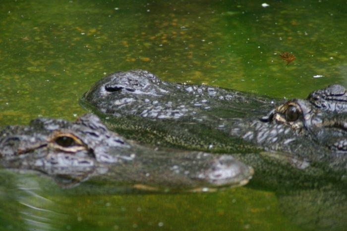 Gator love