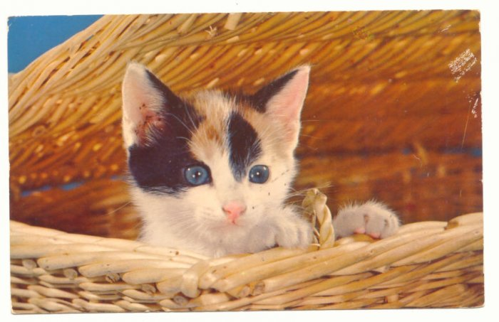 BLUE EYED KITTEN IN BASKET, VINTAGE CHROME Vintage  POSTCARD   54