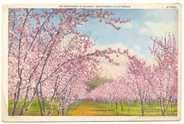 ORCHARD IN BLOOM, SOUTHERN CALIFORNIA VINTAGE POSTCARD   69