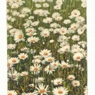 FIELD OF DAISIES, VINTAGE 1911 POST CARD, PHOTOCHROMIE   78