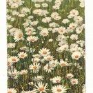 FIELD OF DAISIES, VINTAGE 1911 POST CARD, PHOTOCHROMIE   78