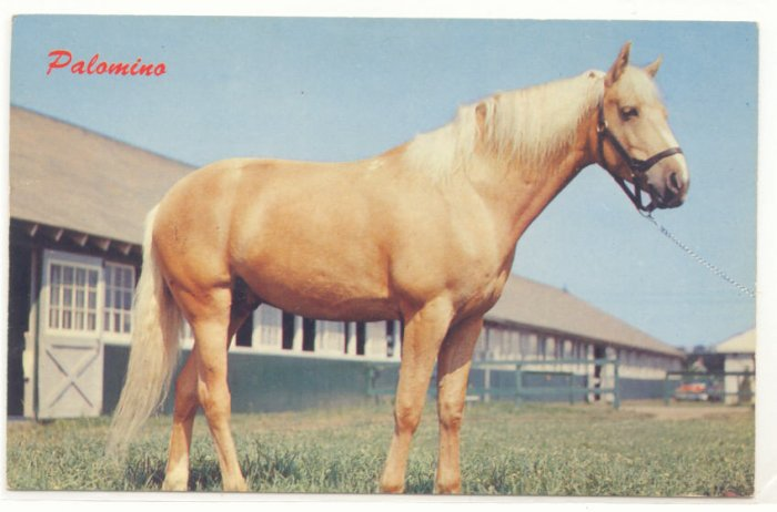 CREAMY PALOMINO, HORSE, FARM, VINTAGE CHROME POSTCARD   135