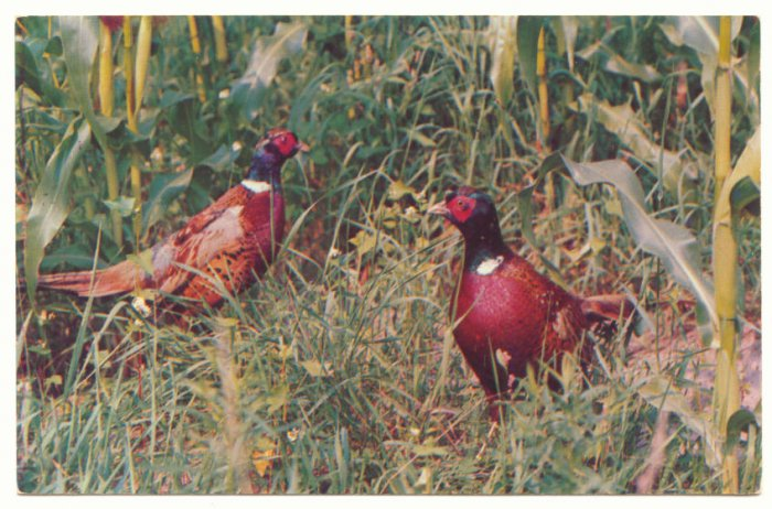 RING NECKED PHEASANTS VINTAGE CHROME POSTCARD    #178