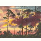 FLORIDA SUNSET SEEN THROUGH CARIBBEAN PINES POSTCARD   #379