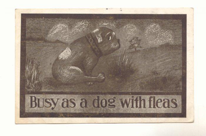 1911 BUSY AS A DOG WITH FLEAS, SAD BULL DOG Postcard   #443