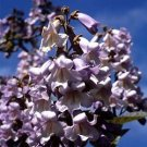 Royal Paulownia Tree Seeds 50 Count