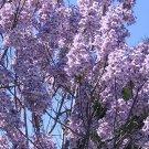 Paulownia Elongata Tree Seed 50 Count