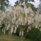 White American Wisteria (Alba) Seeds 10 Count