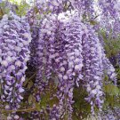 Japanese Wisteria Seeds 10 Count